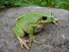 rosnicka-zelena
