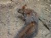 veverica-stromova